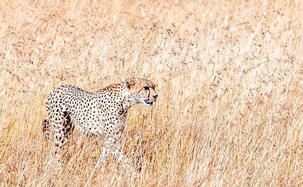 kenya-cosa-non-perdere-ghepardo